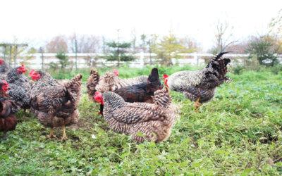 C'est quoi un poulet biologique ?